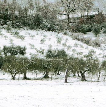 Maltempo e gelo: come curare gli uliveti?